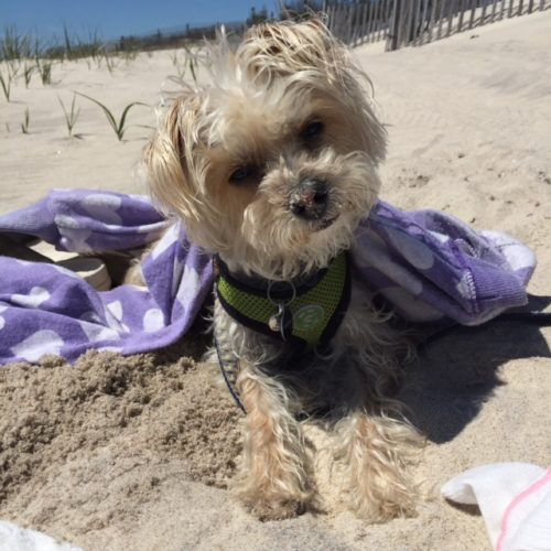 Julian Claudia Matles dog attends yoga sessions on the beach as a welcome guest. Photo courtesy Claudia Matles